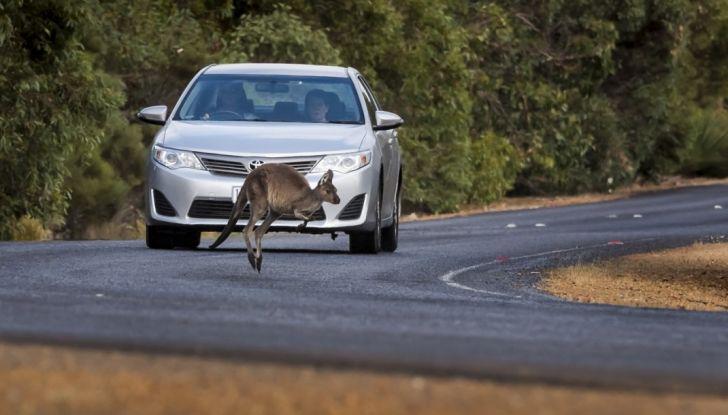 Australia, i canguri fanno saltare la guida autonoma Volvo - Foto 5 di 7